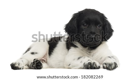 Stabyhoun puppy lying, isolated on white