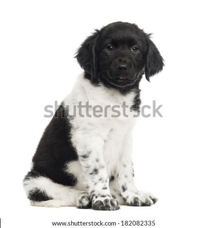Stabyhoun puppy sitting, looking at the camera, isolated on white