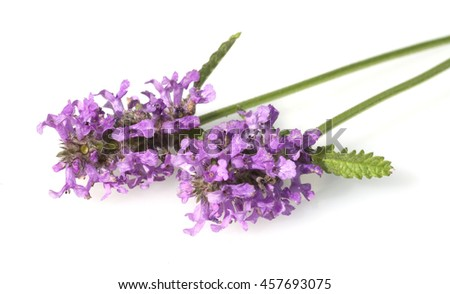 Stachys; officinalis; true;