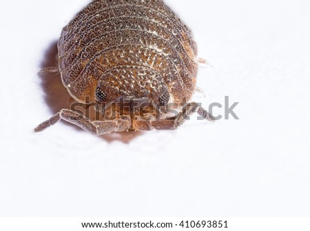 Stacked macro of a woodlouse facing the camera - stock photo