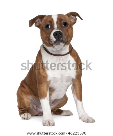 Stafford Bull Terrier, 8 months old, sitting in front of white background - stock photo