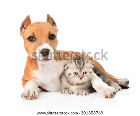 stafford puppy embracing small scottish kitten. isolated on white background - stock photo