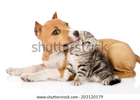 stafford puppy kisses a scottish kitten. isolated on white background - stock photo