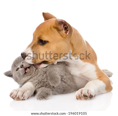 stafford puppy kissing kitten. isolated on white background