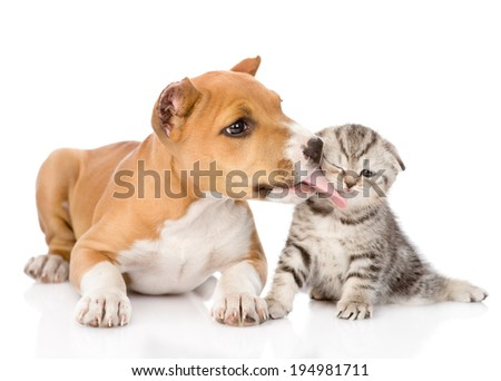stafford puppy licks a scottish kitten. isolated on white background - stock photo