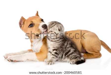 stafford puppy licks a scottish kitten. isolated on white background