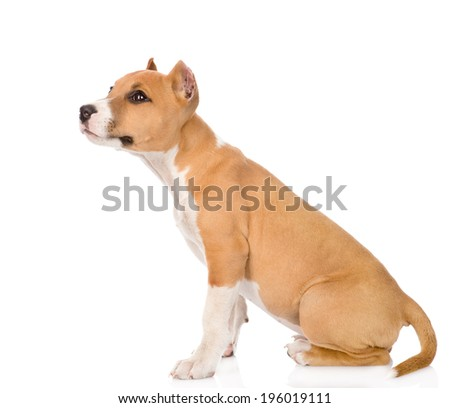 stafford puppy sitting in profile. isolated on white background - stock photo