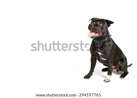 Staffordshire Bull Terrier - stock photo