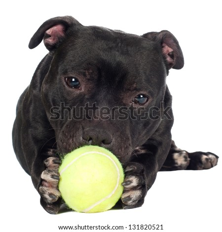 staffordshire bull terrier dog holding a tennis ball - stock photo