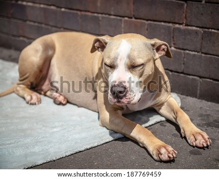 Staffordshire Bull Terrier dog lying down and dozing on a blue blanket with eyes closed - stock photo