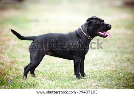 staffordshire bull terrier dog posing - stock photo