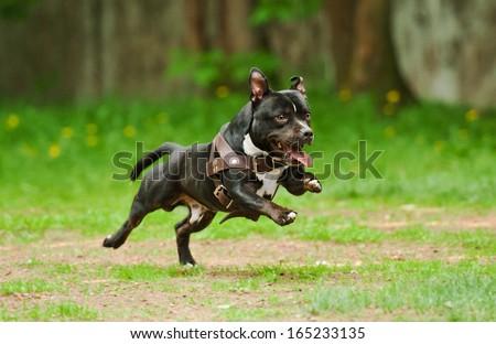 Staffordshire bull terrier dog running - stock photo