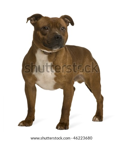 Staffordshire Bull Terrier, 19 months old, standing in front of white background - stock photo
