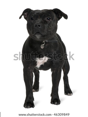 Staffordshire bull terrier, 13 months old, standing in front of white background - stock photo