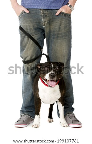 Staffordshire Bull Terrier on lead wrapped around owner's legs - stock photo