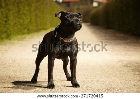Staffordshire bull terrier on spring park way - stock photo