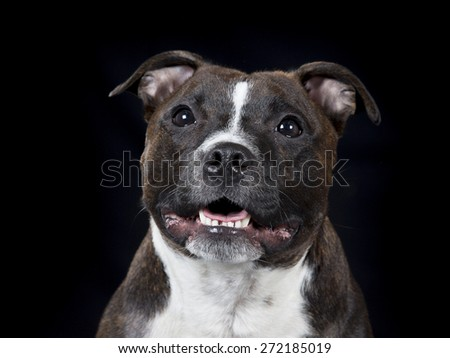 Staffordshire Bull Terrier portrait. - stock photo