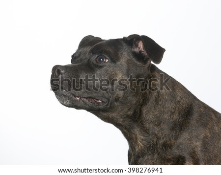 Staffordshire bull terrier portrait. Image taken in a studio.