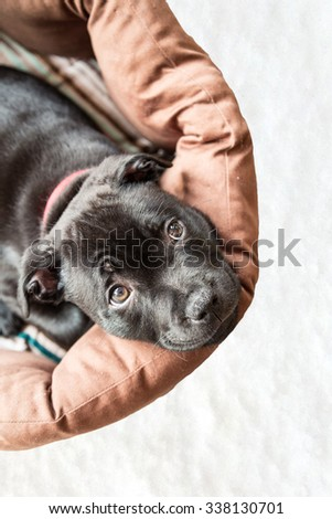 Staffordshire bull terrier puppy in bed looking up at the camera with wide eyes.