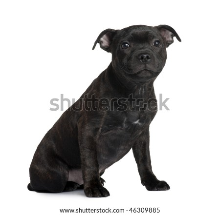Staffordshire Bull Terrier puppy, 3 months old, sitting in front of white background - stock photo