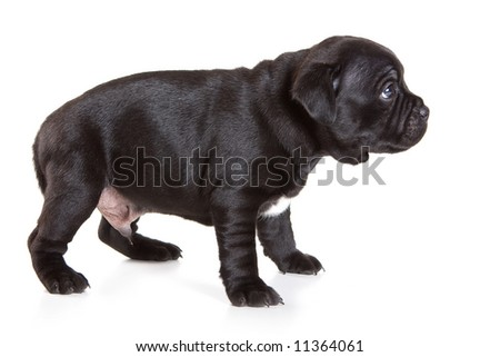 Staffordshire Bull Terrier puppy on white