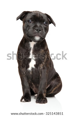 Staffordshire bull terrier puppy sits in front of white background - stock photo