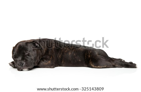 Staffordshire bull terrier puppy sleep in front of white background - stock photo