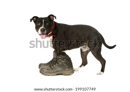 Staffordshire Bull Terrier wearing muddy walking boots looking at the camera isolated ono a white background
