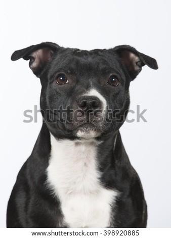 Staffordshire portrait. Image taken in a studio. - stock photo