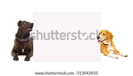 Staffordshire terrier and Beagle peeking from behind poster, isolated on white background - stock photo