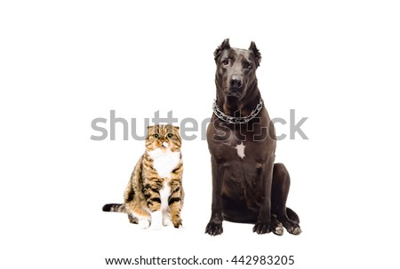 Staffordshire terrier and cat Scottish Fold sitting together isolated on white background - stock photo