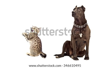 Staffordshire Terrier and funny kitten Scottish Straight isolated on a white background - stock photo