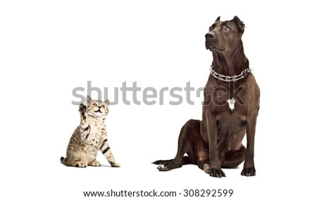 Staffordshire Terrier and kitten Scottish Straight isolated on white background  - stock photo