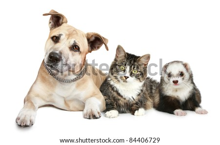Staffordshire terrier cat and ferret trio on a white background - stock photo