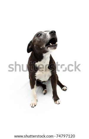Staffordshire Terrier cross breed howling - stock photo