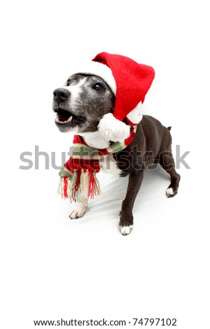 Staffordshire Terrier cross breed wearing Christmas hat and scarf - stock photo