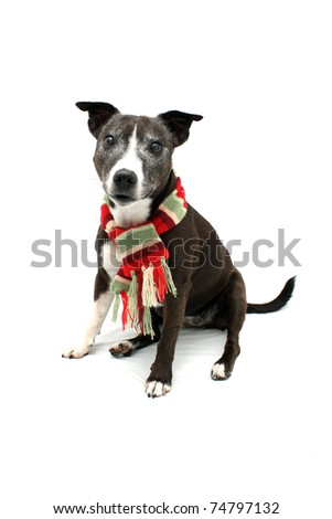 Staffordshire Terrier cross breed wearing warm colorful scarf - stock photo