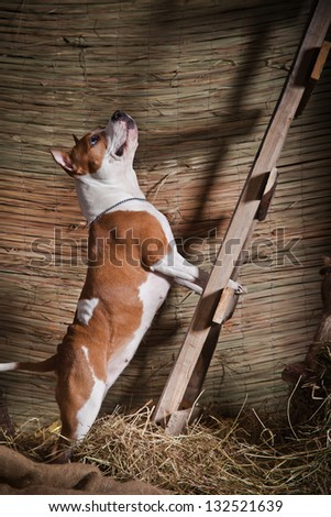 Staffordshire terrier in the interior - stock photo