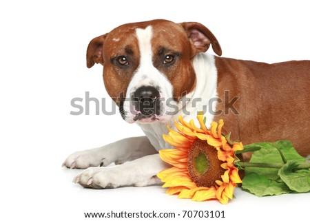 Staffordshire terrier lying with sunflower on a white background