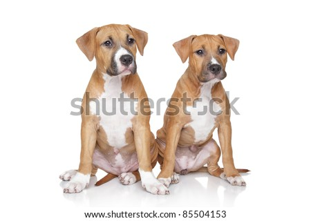 Staffordshire Terrier puppies sits on a white background