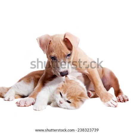 Staffordshire terrier puppy and british cat. Isolated on a white background - stock photo
