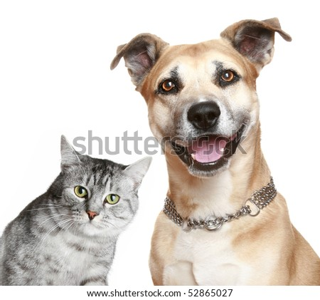 Staffordshire terrier puppy and gray cat. Isolated on a white background