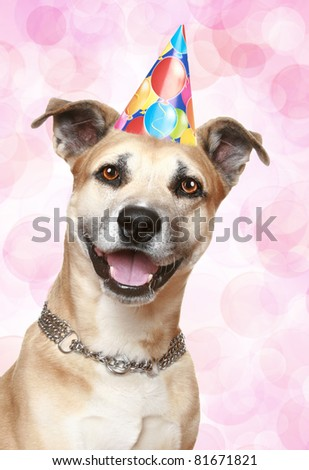 Staffordshire terrier puppy in party cone on pink background