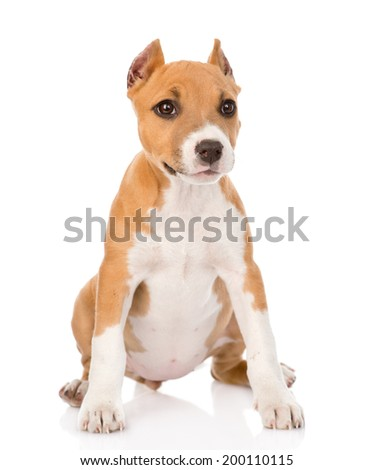 staffordshire terrier puppy sitting in front. isolated on white background