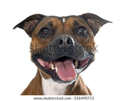 stafforshire bull terrier in front of white background - stock photo