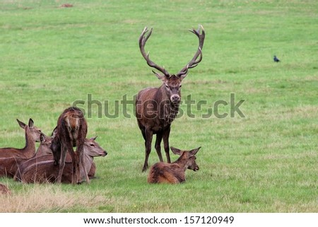 stag and roe red deer in field - stock photo
