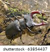 stag beetle - stock photo