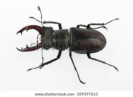 stag-beetle - stock photo