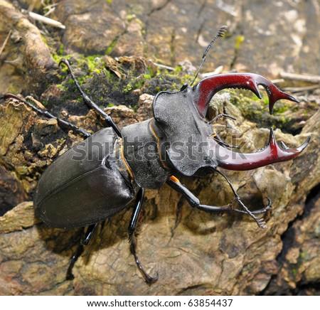 stag beetle - stock photo