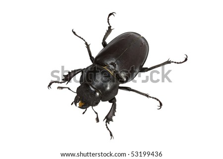 Stag beetle (Lucanidae Latreille) female isolated on a white background